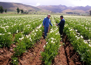 Comment assurer sa production de pommes de terre le comptoir web - Periode plantation pomme de terre ...