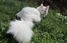 Angora turc blanc