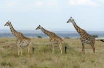 Voyage Kenya :une aventure vie sauvage