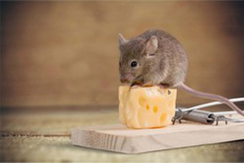 Des pièges pour se débarrasser des rats