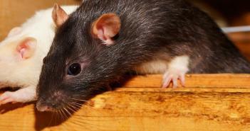 Pourquoi se débarrasser des rats