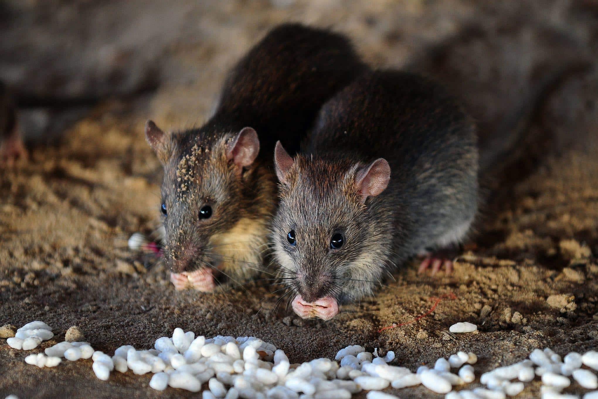 Mettez les rats à la porte