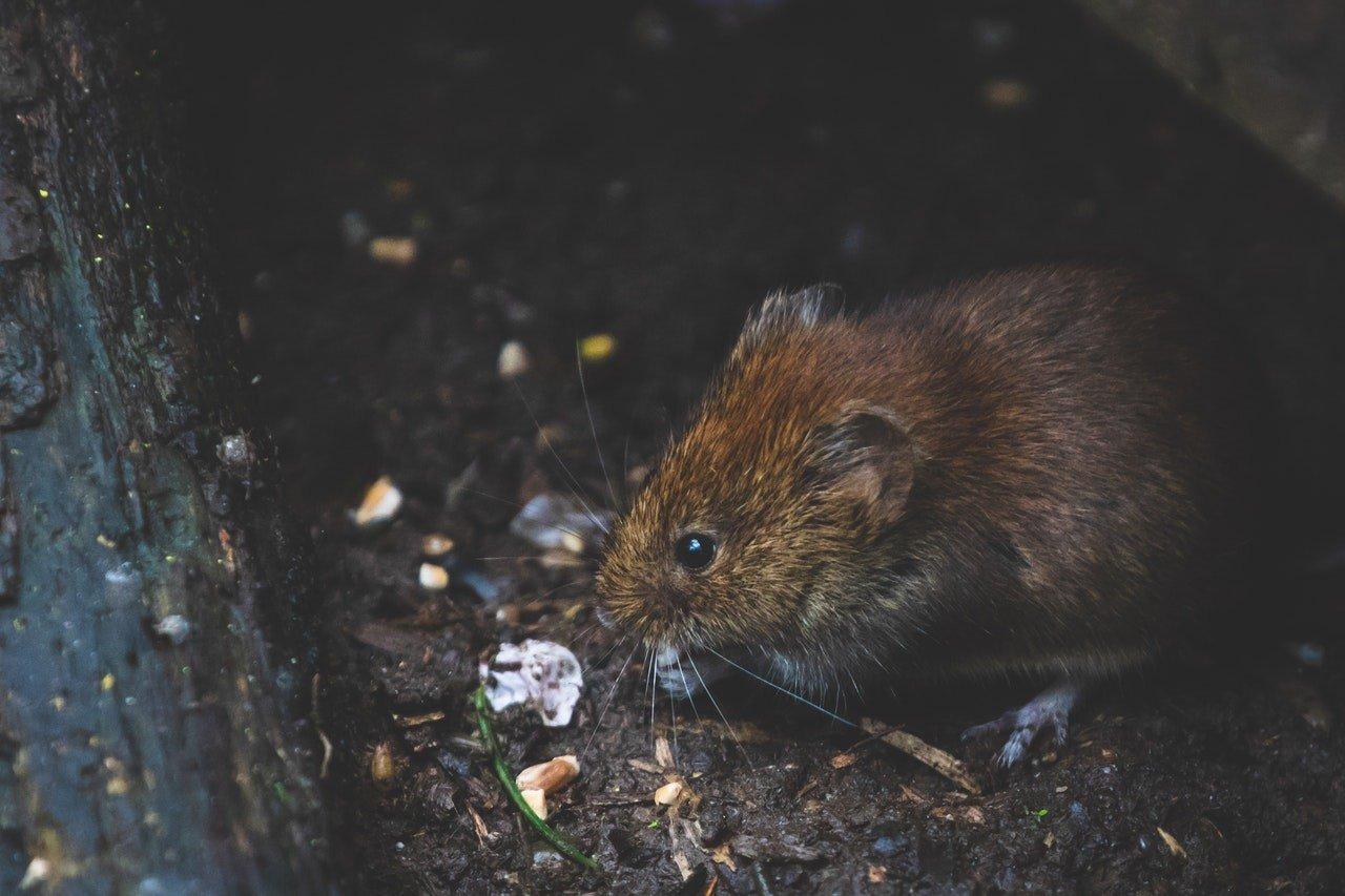 L'urgence de se débarrasser des rats